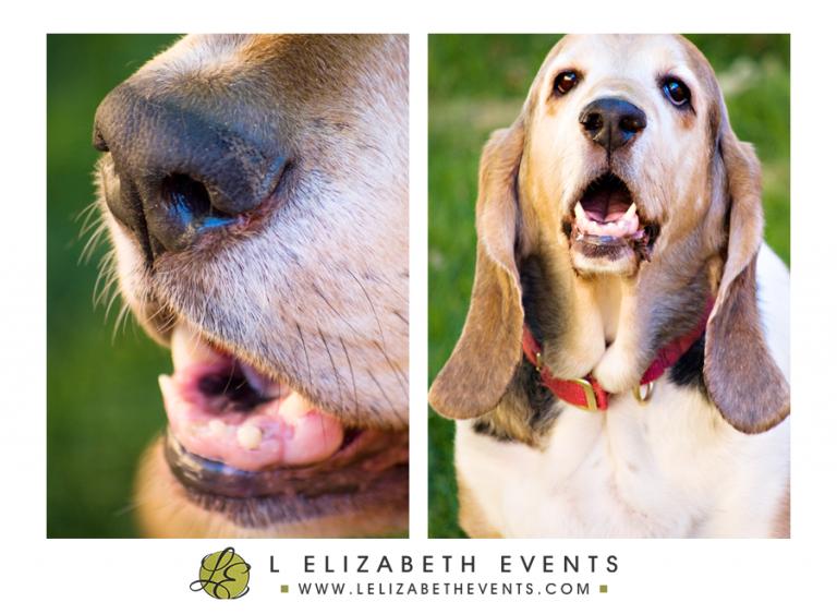 doggy nose, snout, bassett hound, denver dog photographer, colorado pet photography