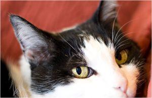 cat portraits, pet photography, denver pet photographer, black and white cat, closeup of face