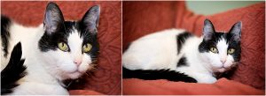 cat portraits, pet photography, denver pet photographer, black and white cat, red couch