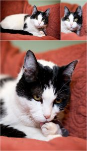 kitty tongue,cat portraits, pet photography, denver pet photographer, black and white cat, red couch