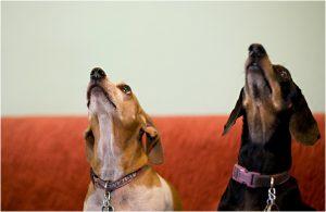 dogs portraits, pet photography, denver pet photographer, weiner dogs