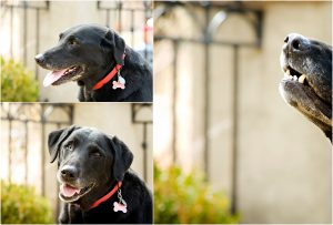dog, pet portraits, colorado pet photographer, black lab